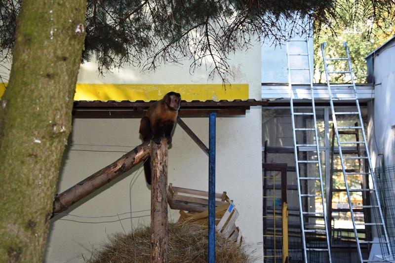 Opice voľne behajú vareáli CVČ.